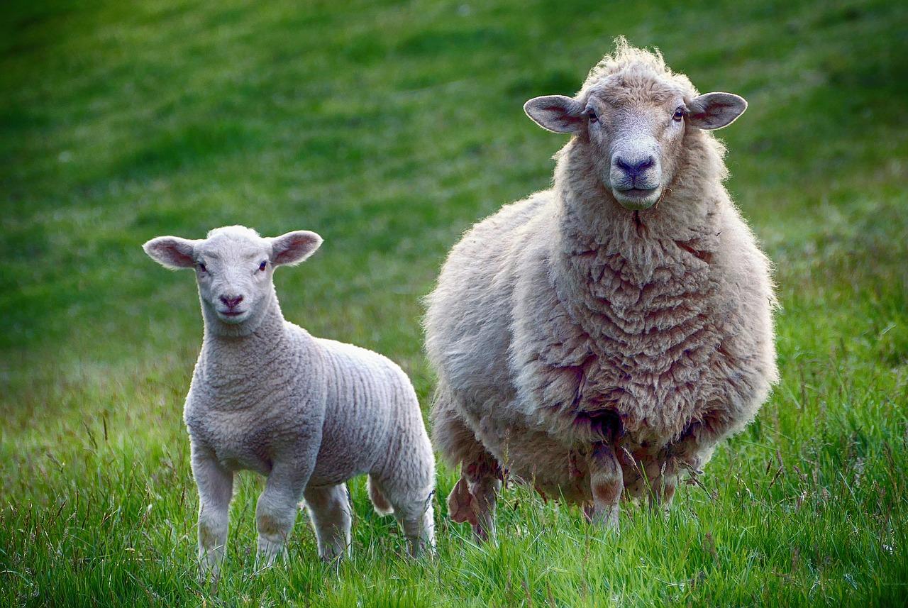 Стригачни машини за овце